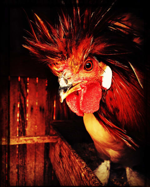 Red Rooster Attitude Photography Art | BenjieArts