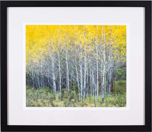 Golden Birch - Guilford Exhibit