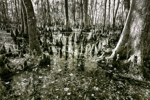 Louisiana Swamp black and white photography