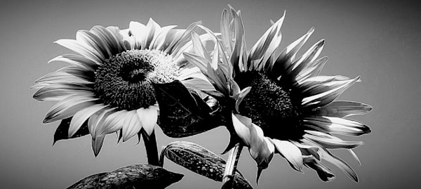 Sunflower Duo in Black and White by Alexis King-Glandon an American photographer.