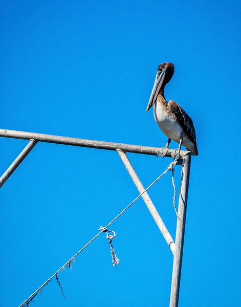 Louisiana Pelican at rest photography