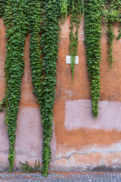Rome Vines:  Fine Art photography by Shane O'Donnell