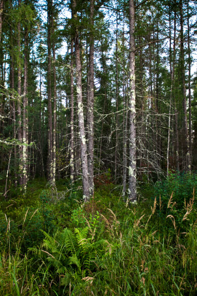 Forest Growth