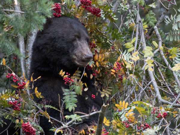 Canada Bear 0805 Photography Art | Leiken Photography