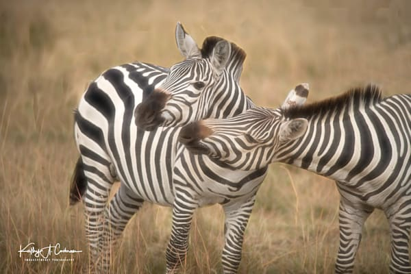 Zebra  4 Photography Art | Images2Impact