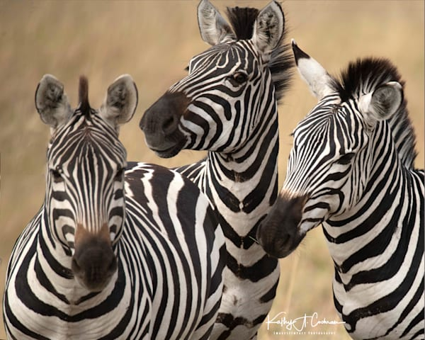 Zebra  Photography Art | Images2Impact