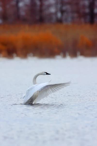 Tundra Swan Photography Prints | Robbie George