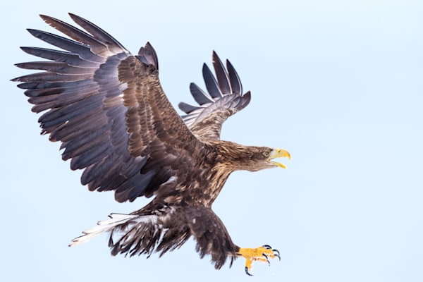 White-tailed eagle in Rausu