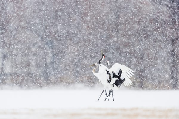 Red-crowned cranes in snow
