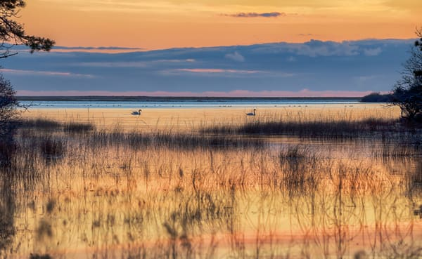 Long Point Swans At Sunset