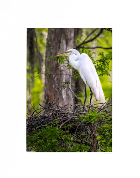 Nesting egret 5x7 matted print
