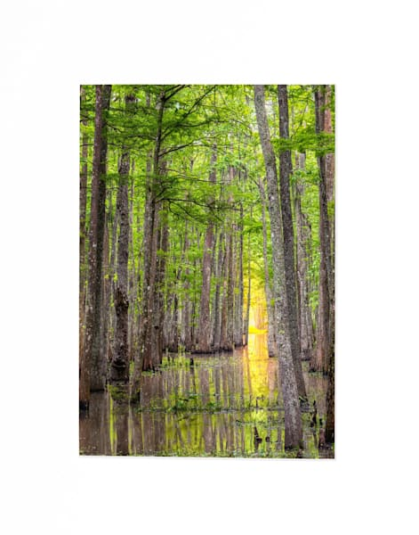 Sunlight through the cypress swamp photography