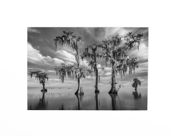 Cypress trees in black and white photography