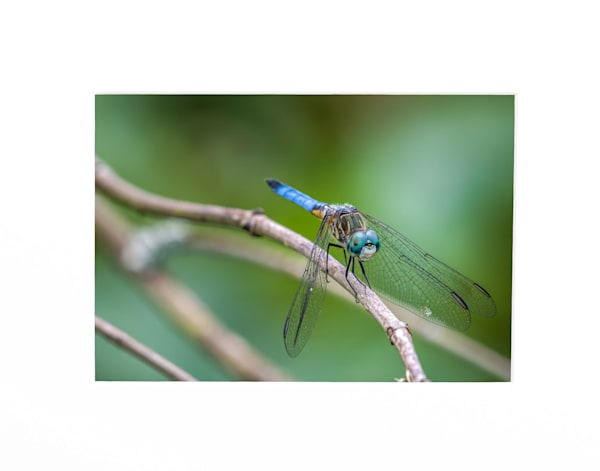 Resting dragonfly photography print