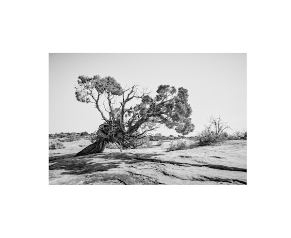 Twisted pinyon tree photography