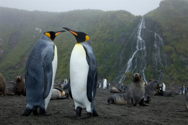 King Penguin (Aptenodytes patagonicus), Antarctic Fur Seals, and waterfall.  Right Whale Bay, South Georgia