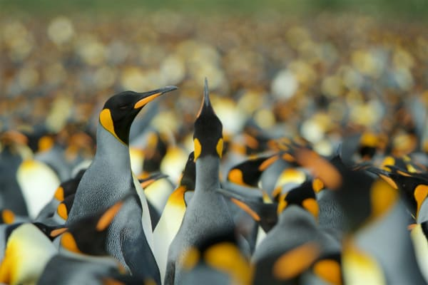 King Penguins (Aptenodytes patagonicus) colony Gold Harbor South Georgia United Kingdom Overseas Territory A Subantarctic Island in the Southern Ocean