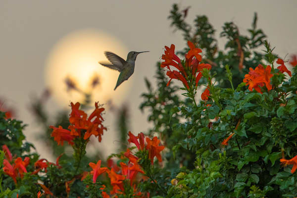 Dining by Moonlight - Anna's Hummingbird