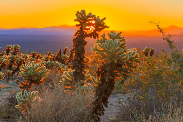 Fine Art Print of sunrise through Teddy Bear Cholla Cactus in Joshua Tree National Park, California