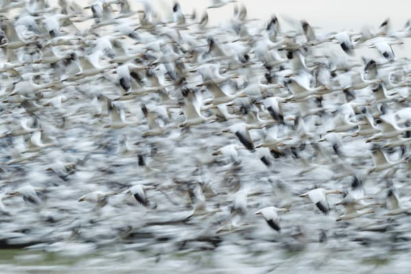 Snow Geese At Valley Road Photography Art | Seattle Digital Photography