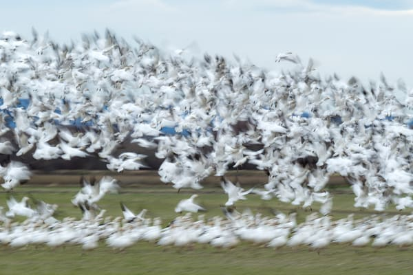 Snow geese in Valley Road