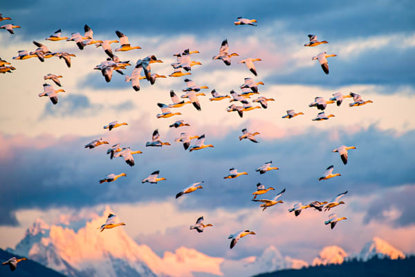 Snow geese flying at Sunset
