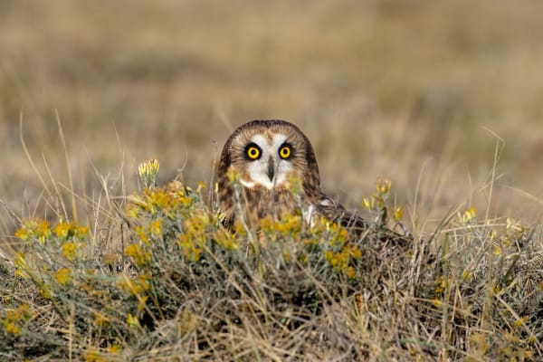 Short Eared Owl | Robbie George Photography