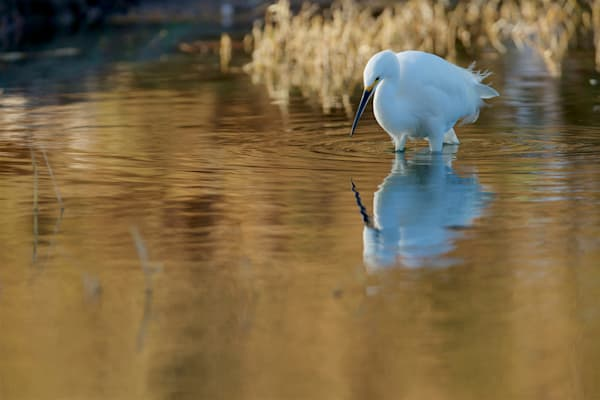 A Reflective Afternoon - Snowy Egret