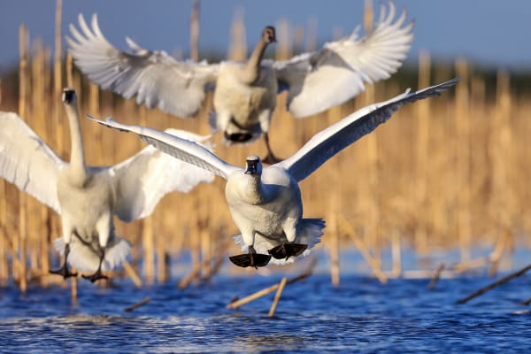 Tundra Swans | Robbie George Photography
