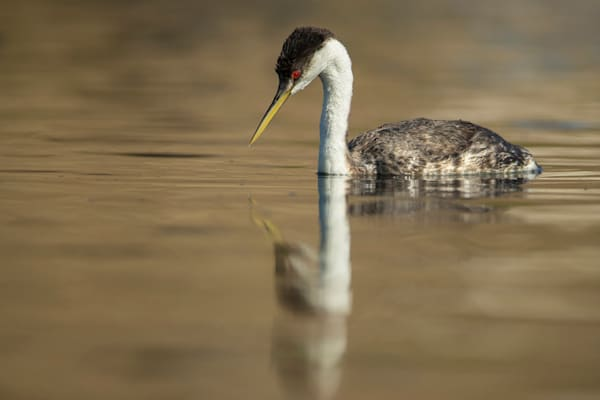 Looking Deep - Western Grebe