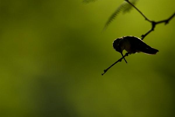 Preening Costa's Hummingbird