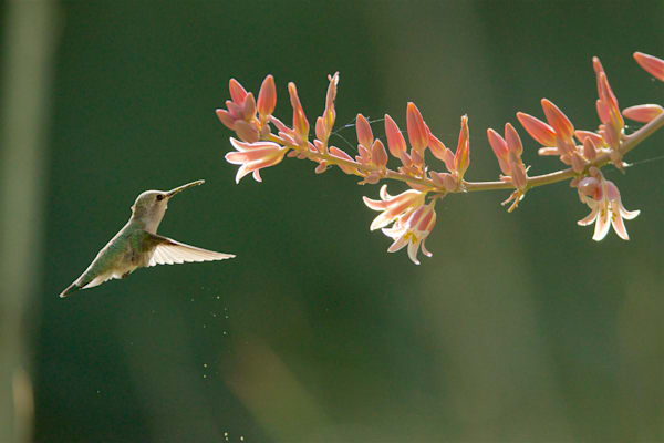 Wings of Light - Costa's Hummingbird