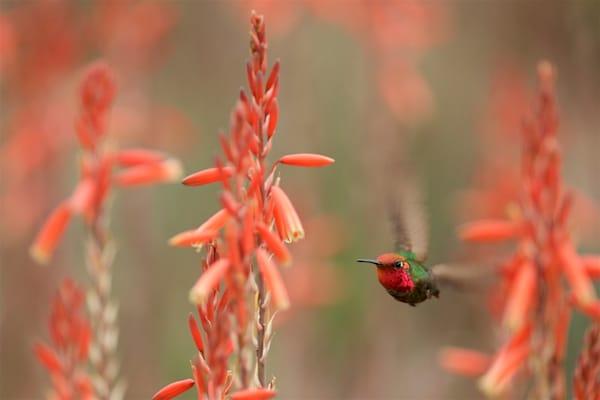 On Target - Anna's Hummingbird