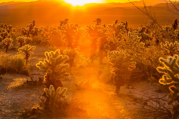 Fine Art Print of Teddy-bear Cholla Cactus during sunrise in Joshua Tree National Park, California