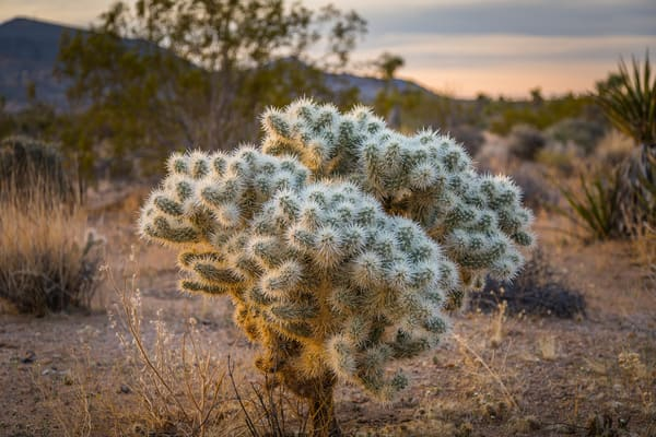 Fine Art print of a Silver Cholla cactus at sunrise in the Mojave Desert portion of Joshua Tree National Park, California.