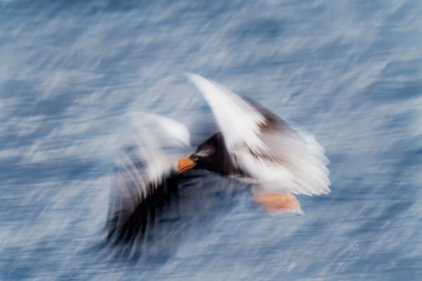 Steller eagle in motion
