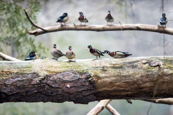 Wood Ducks | Robbie George Photography