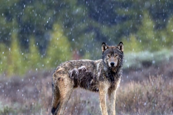 Wild Wolf Photography Prints | Robbie George