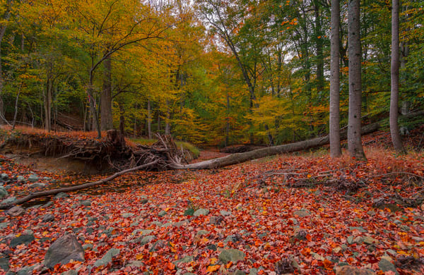 Fine Art Print of Autumn (Fall) colors along the Buck Branch in Potomac, Maryland.