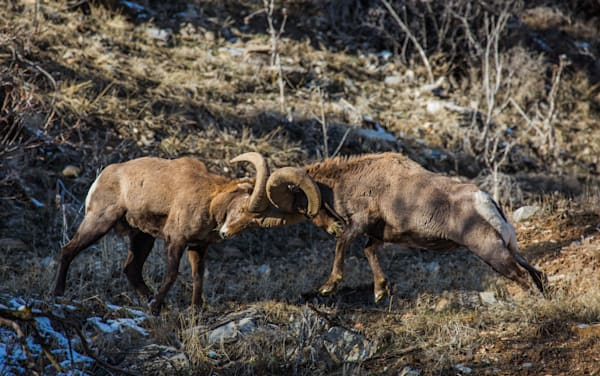 Late Afternoon Big Horn Collision