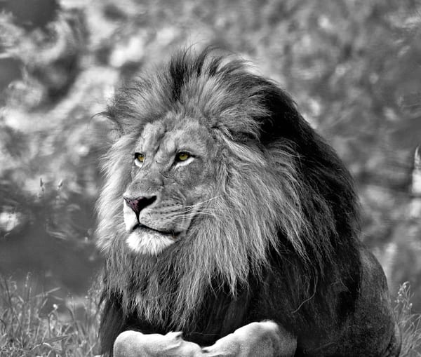 Behold The Majestic Lion (Black and White) | Art By Smiths - Wildlife Photography
