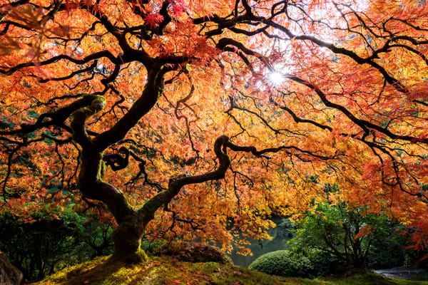 Fall color maple tree