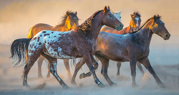 Appaloosa Running Pano Photo Print