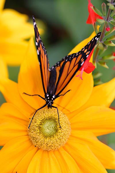 Butterfly - Monarch Photo Print