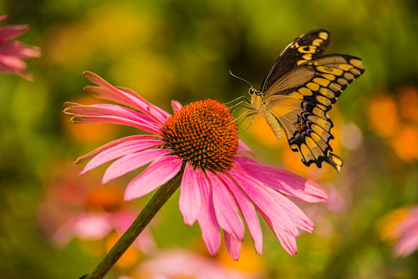 Butterfly - Swallowtail Pink Coneflower