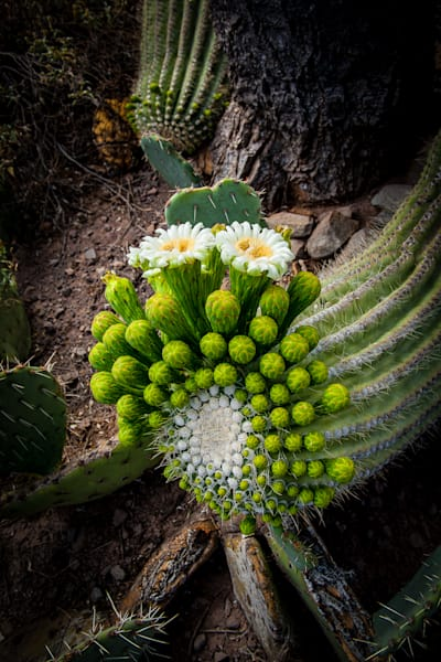 Cactus - Saguaro Bloom Full Photo Print