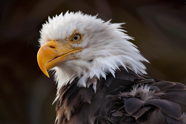 Angry Eagle Photo Print