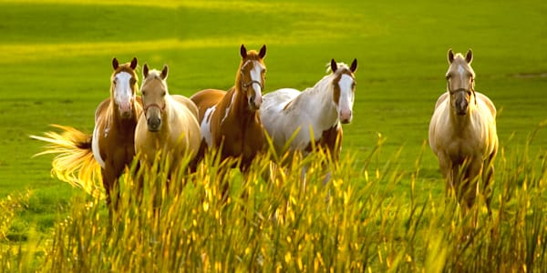 Greener Pastures Pano Photo Print