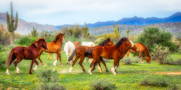 Salt River Herd Pano