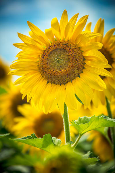 Sunflower Photo Print